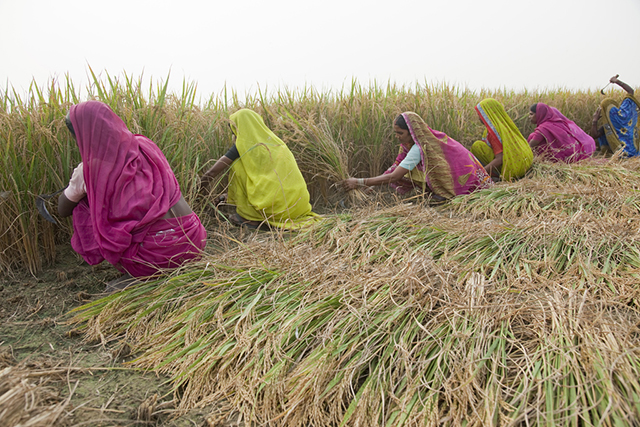 "Women harvest rice in the Indian village of Mahadeva. Equal access to key assets could raise total agricultural production in developing countries by 2.5 to 4 percent, which could in turn reduce the number of hungry people in the world by 12 to 17 percent, or 100 to 150 million people. This ""gender gap"" has massive implications for poverty reduction and nutrition. Uttar Pradesh, India, 2010. © Bill & Melinda Gates Foundation"