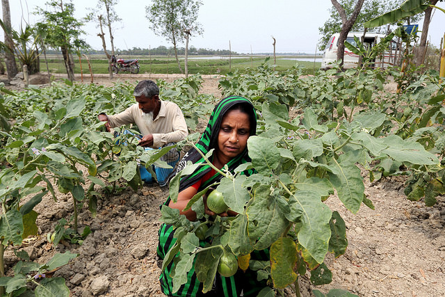 Farm workers harvesting eggplants in Khulna, Bangladesh.