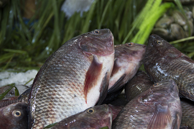 Farmed tilapia