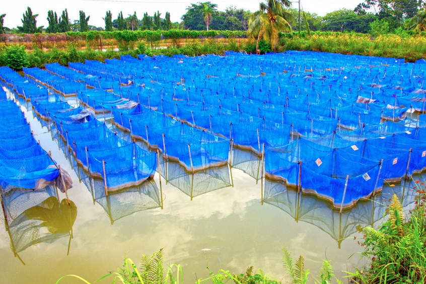 Tilapia breeding facility in Jitra, Malaysia.
