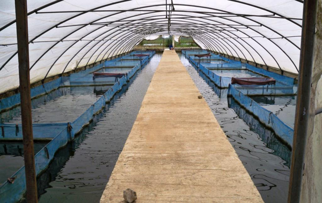 Inside a greenhouse at the Abbassa research station used for genetic improvement of Nile tilapia