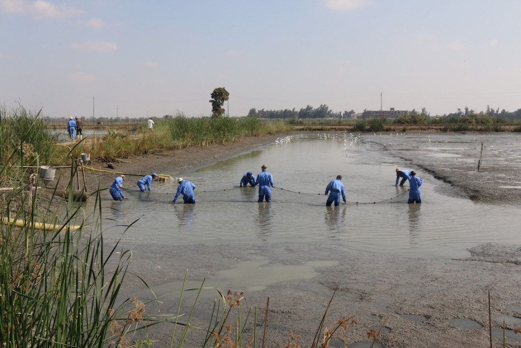 Workers collect fish to move to a different pond at the WorldFish research center in Egypt. Kate Bevitt, 2016.