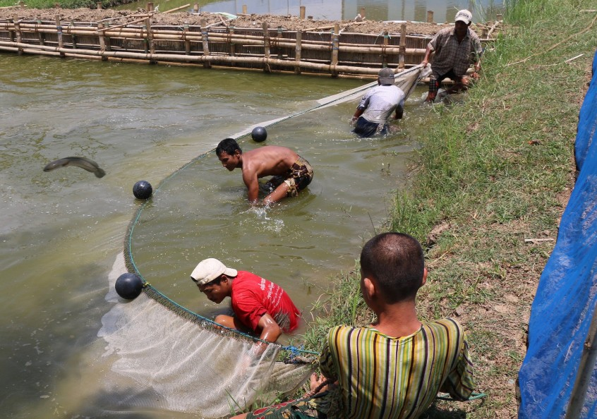 Hatchery workers netting fish, Myanmar. Photo by Toby Johnson, 2016.