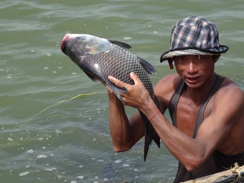 Catla carp, one of the most commonly farmed fish in Myanmar, Myanmar, 2016.