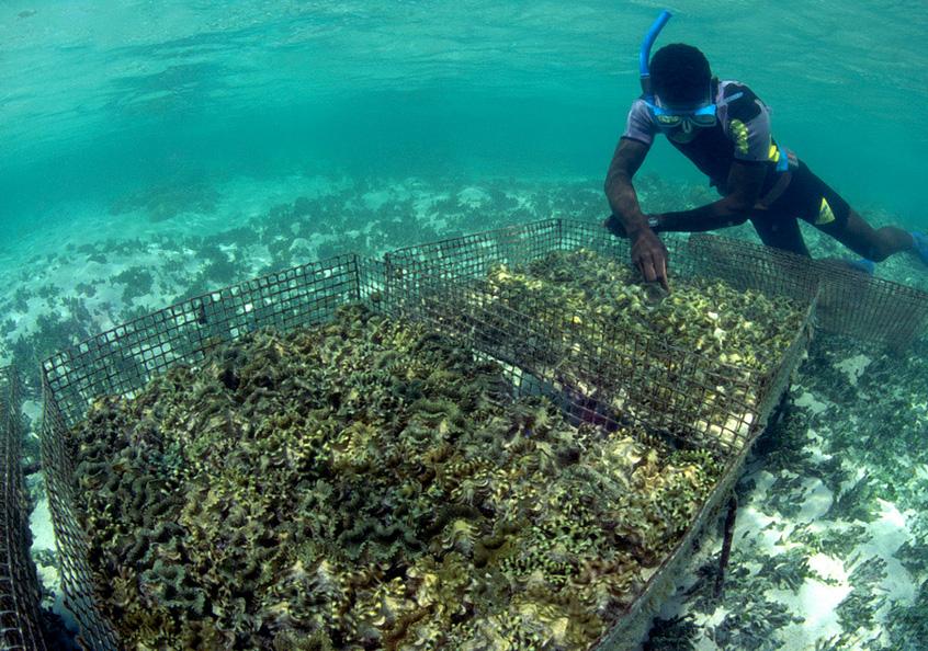 Giant clam cage basic husbandry, Solomon Islands.