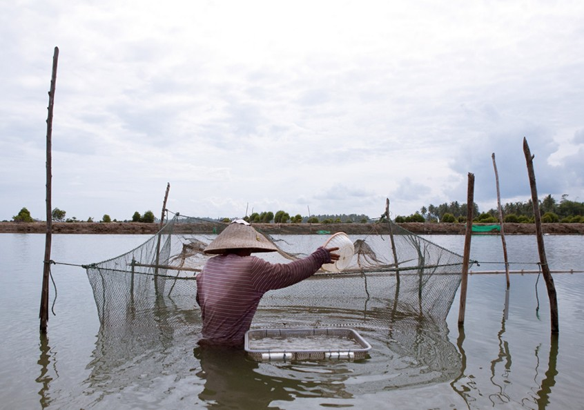 Shrimp farming in Aceh, Indonesia. Photo by Mike Lusmore/Duckrabbit, 2012.