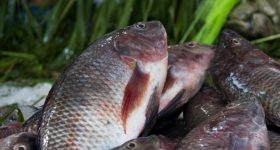 Aquaculture and tilapia: a fish that may tip the balance