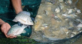 Improved breeds show increased potential for aquaculture