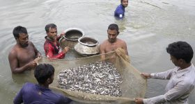 Let them eat carp: Farmed fish is helping to fight hunger
