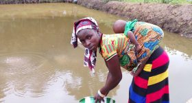 Modified Secchi disk improves fish farm management for smallholders in Sierra Leone